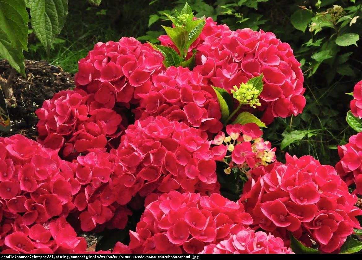 Hortensja ogrodowa Red Beauty  - Hydrangea macrophylla Red Beauty