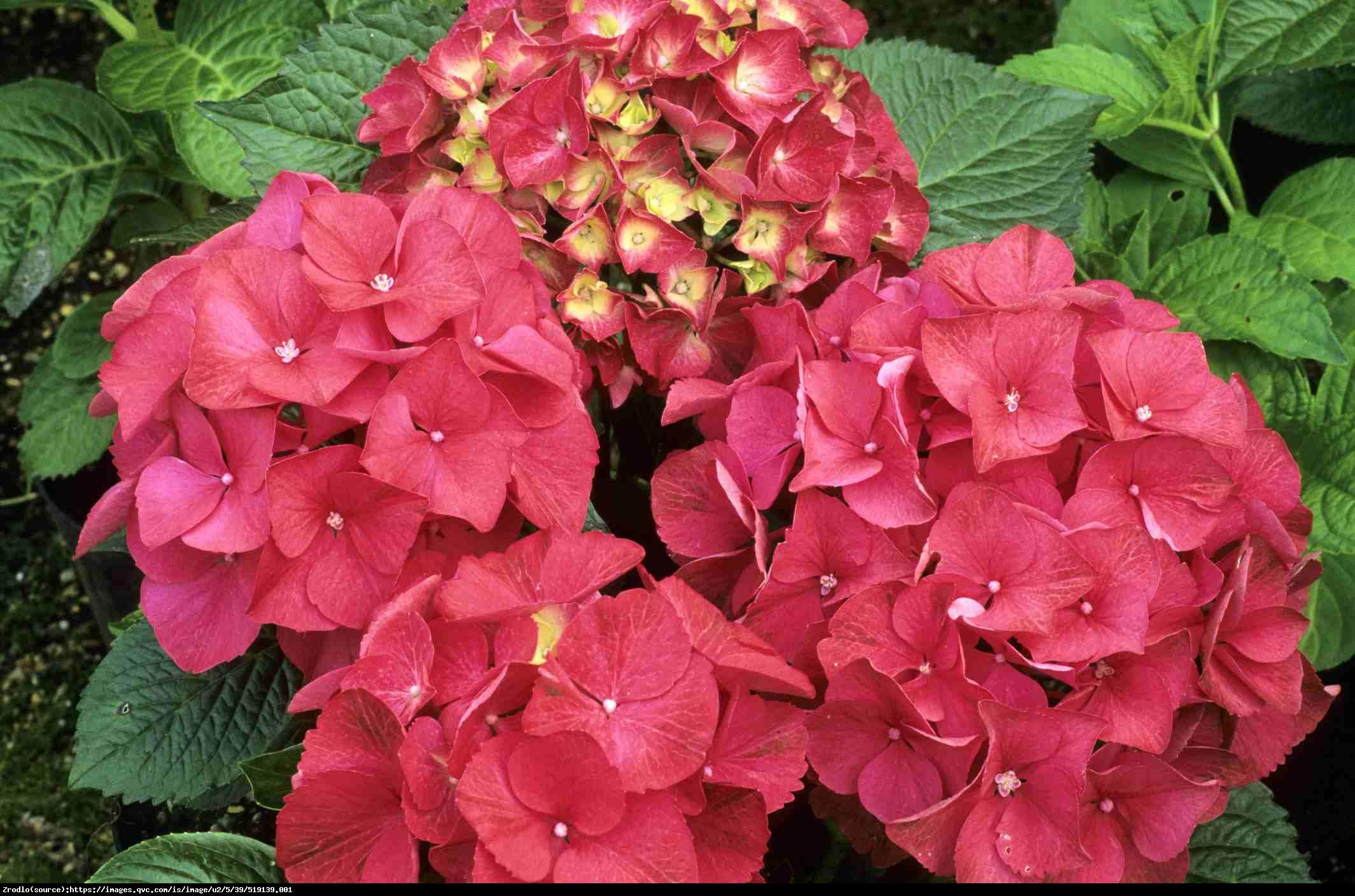 Hortensja ogrodowa Red Beauty  - Hydrangea macrophylla Red Beauty