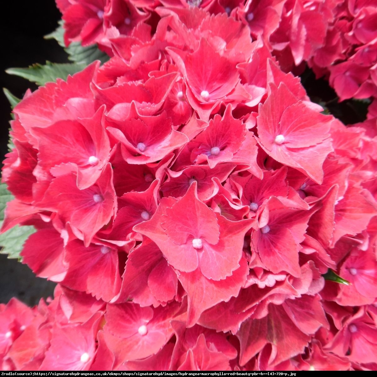 Hortensja ogrodowa Red Beauty Lila  - Hydrangea macrophylla Red Beauty Lila