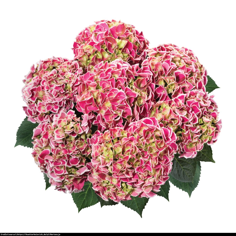 Hortensja ogrodowa Tivoli rosa  - Hydrangea macrophylla Tivoli rosa