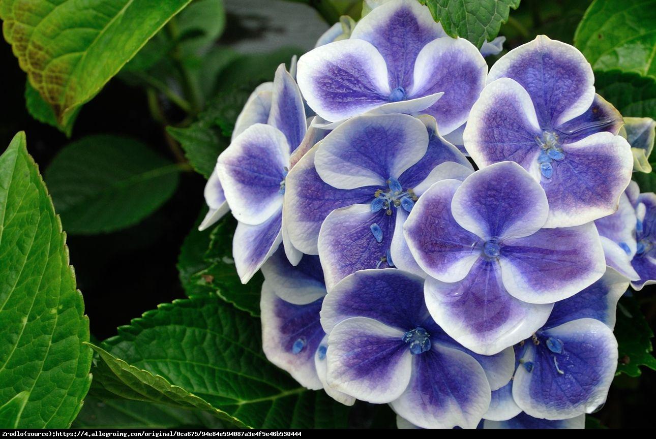 Hortensja ogrodowa Tivoli blau  - Hydrangea macrophylla  Tivoli blau
