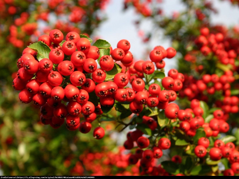 Ognik szkarłatny odmiana Kuntayi - Pyracantha coccinea var. kuntayi