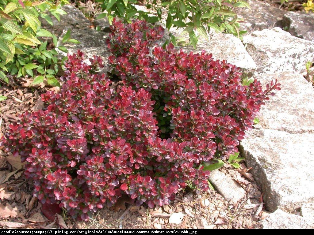 Berberys Atropurpurea Nana  - Berberis thunbergii  Atropurpurea Nana