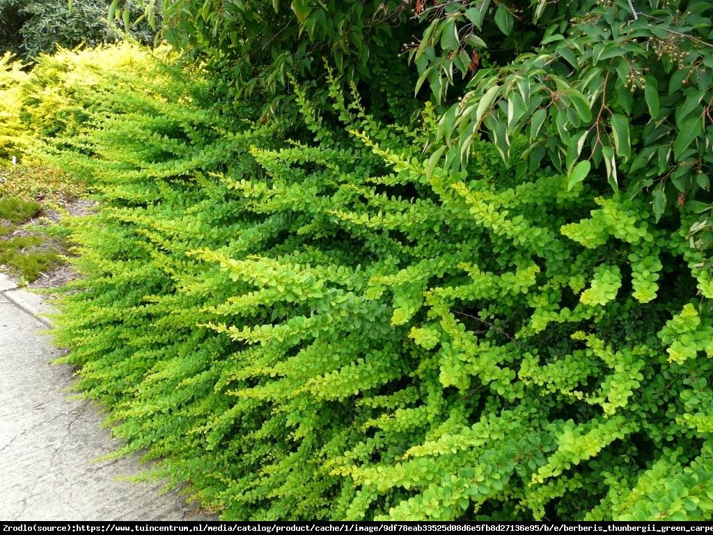 Berberys Green Carpet  - Berberis thunbergii  Green Carpet