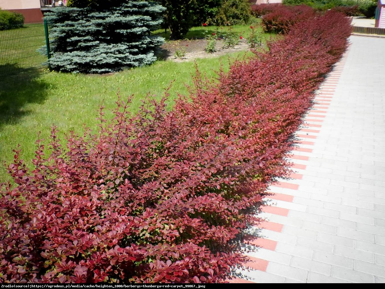 Berberys Red Carpet - Berberis thunbergii Red Carpet