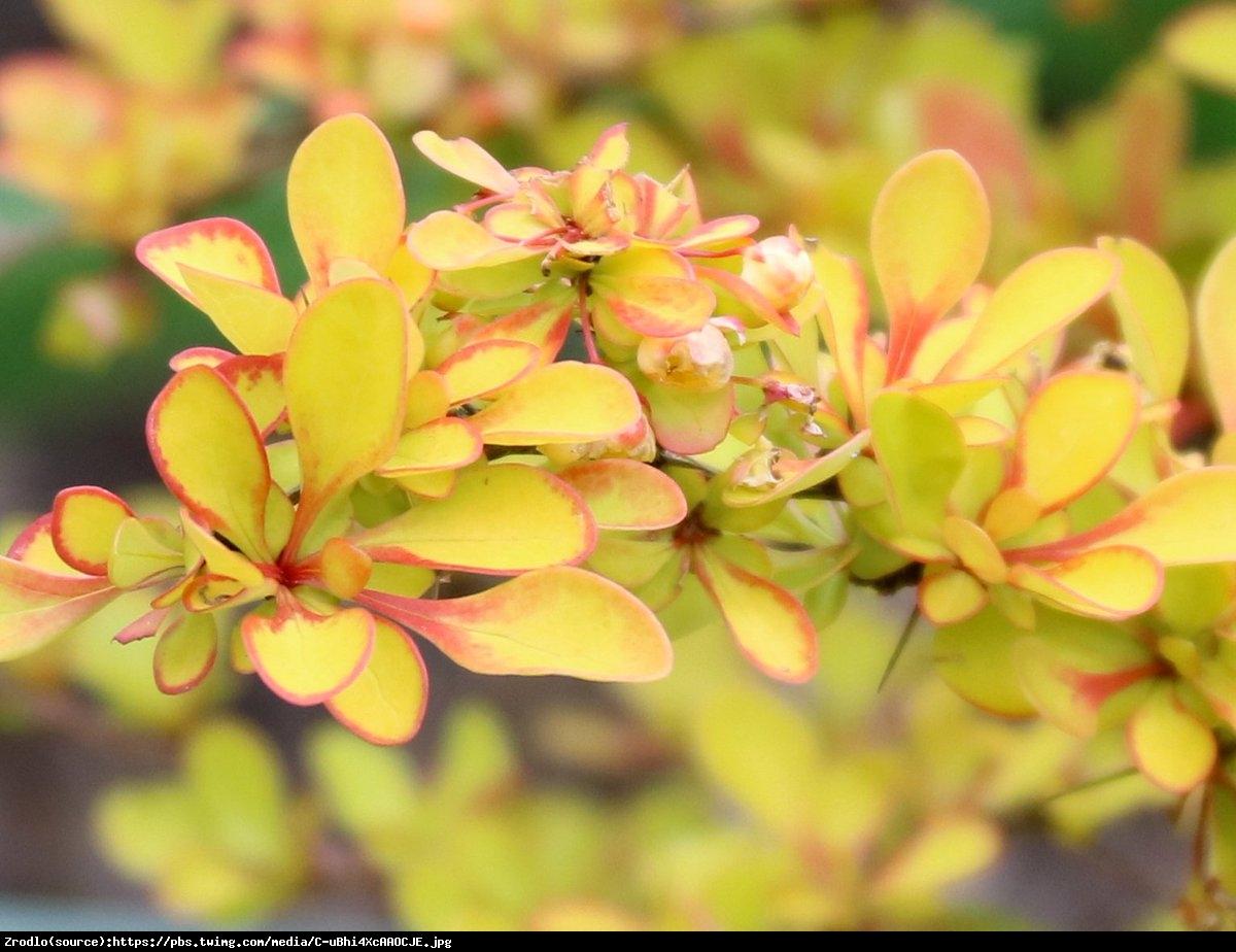 Berberys Diabolicum - Ognisty krzew - Berberis thunbergii  Diabolicum