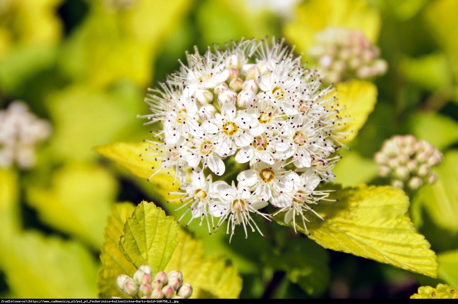 Pęcherznica kalinolistna Darts Gold  - Physocarpus opulifolius Darts Gold