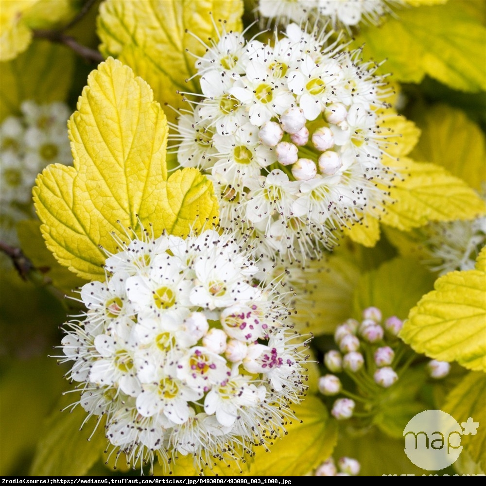 Pęcherznica kalinolistna Darts Gold  - Physocarpus opulifolius Darts Gold