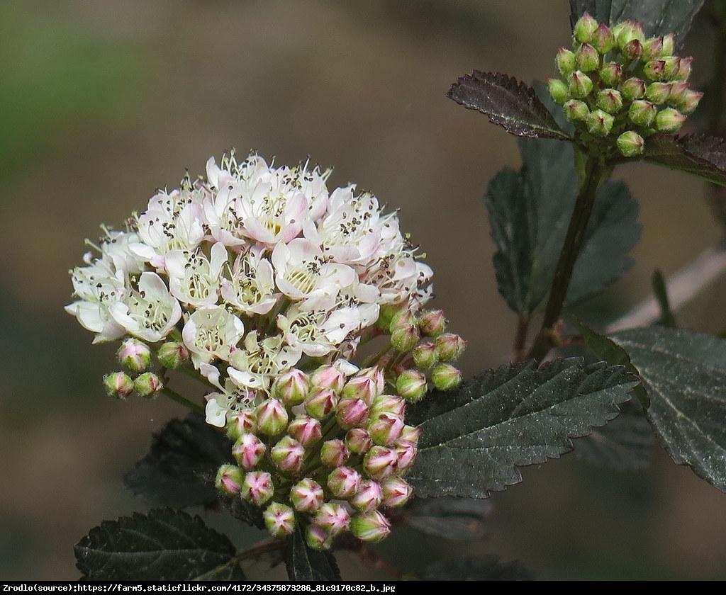 Pęcherznica kalinolistna Summer Wine - Physocarpus opulifolius SUMMER WINE