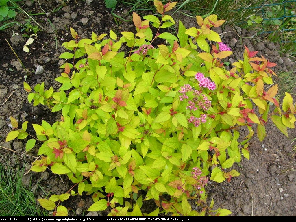 Tawuła japońska Golden Carpet - Spiraea japonica Golden Carpet