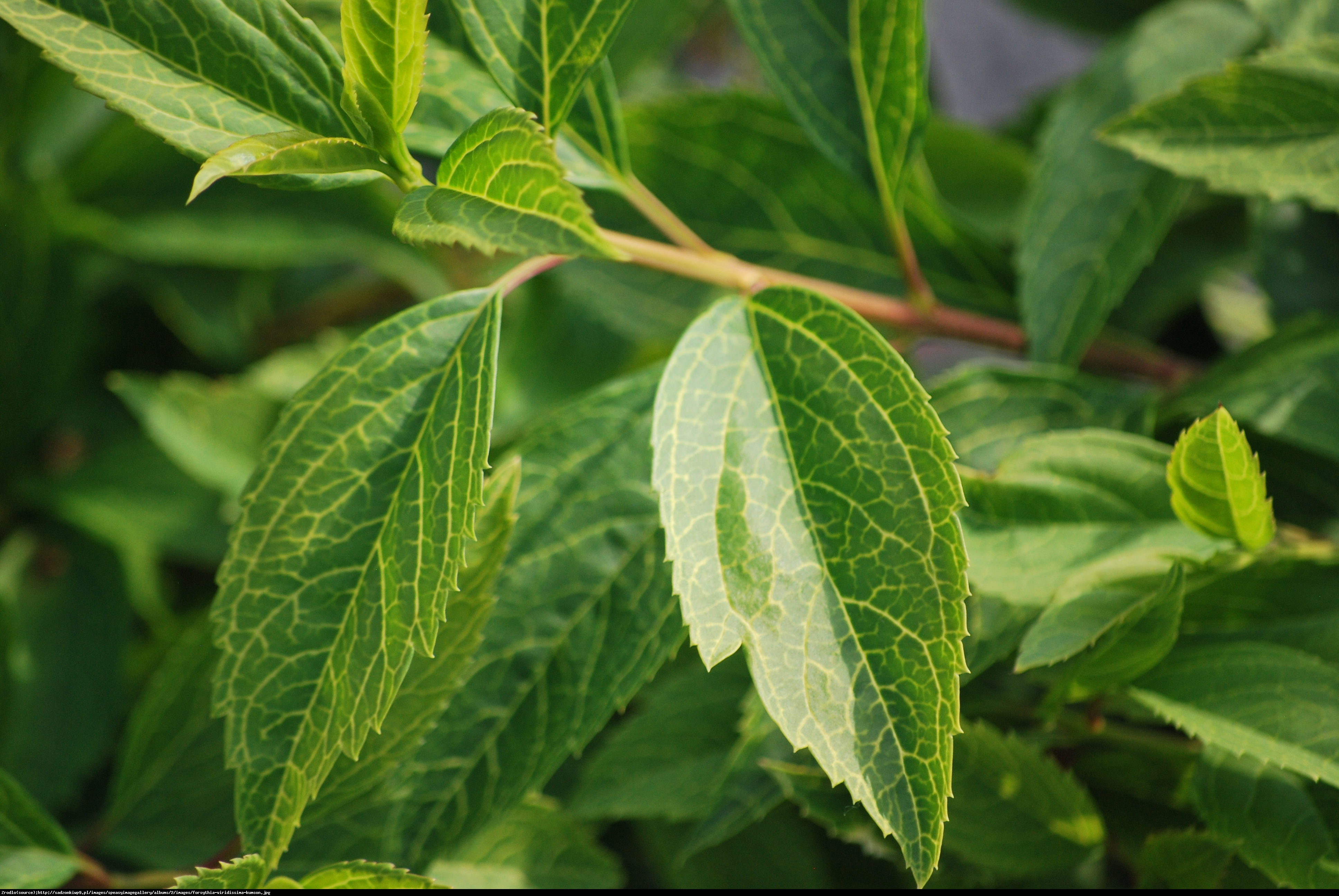 Forsycja zielona Kumson  - Forsythia viridissima Kumson