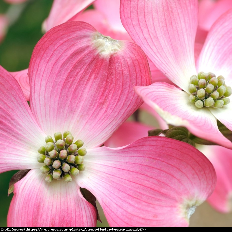 Dereń kwiecisty - Cornus florida rubra