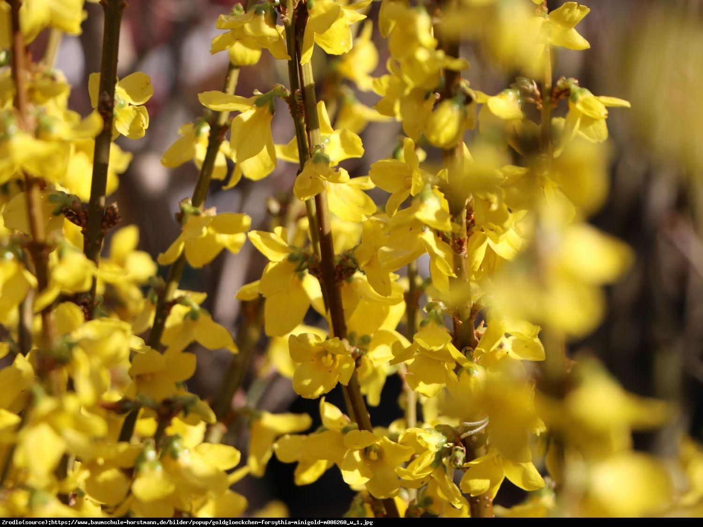 Forsycja pośrednia Minigold - Forsythia intermedia MINIGOLD