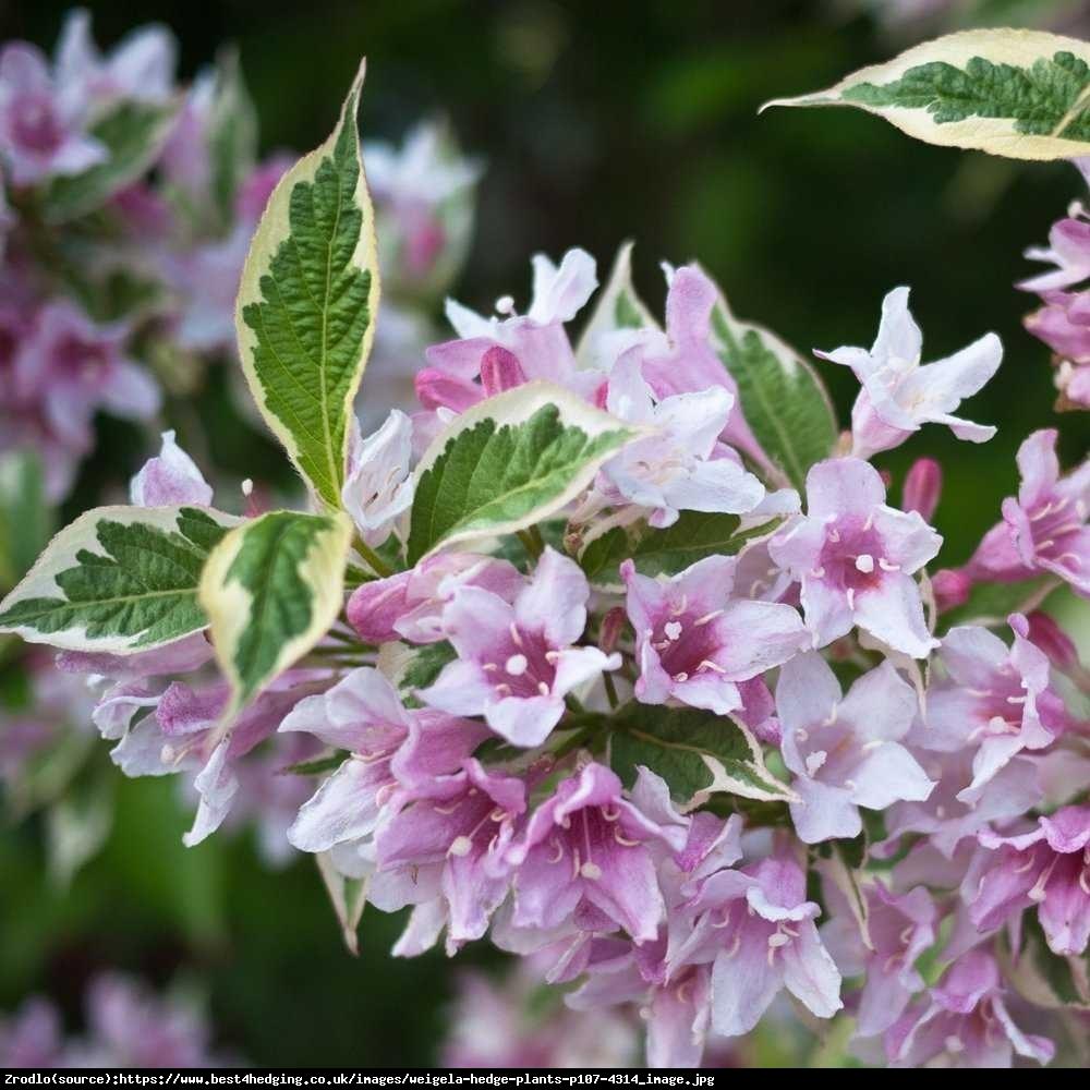 Krzewuszka cudowna Variegata  - Weigela florida Variegata