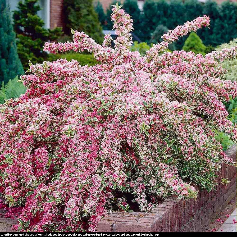 Krzewuszka cudowna variegata weigela florida variegata for Arbusti ornamentali