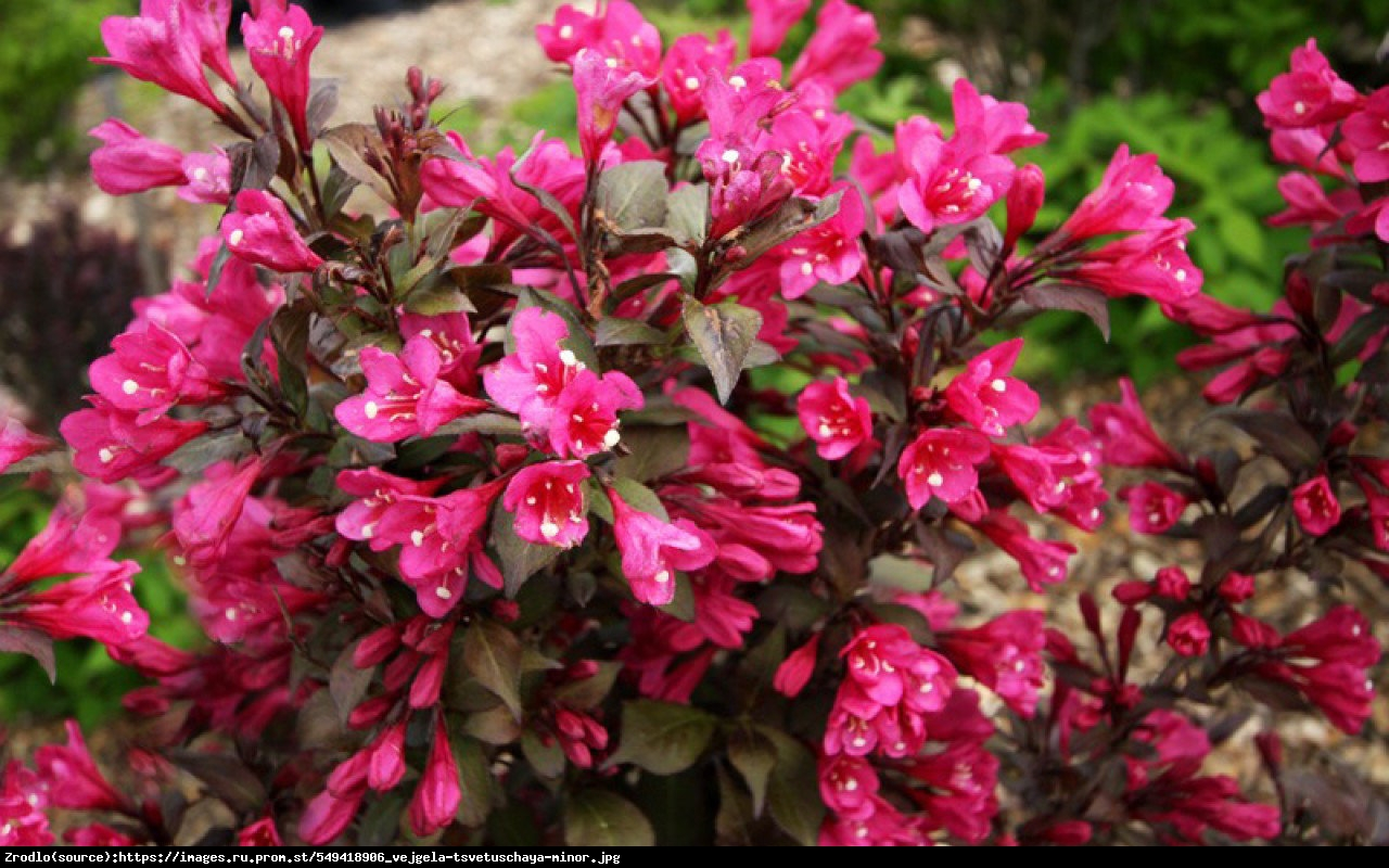 Krzewuszka cudowna Black Minor - Weigela florida Black Minor