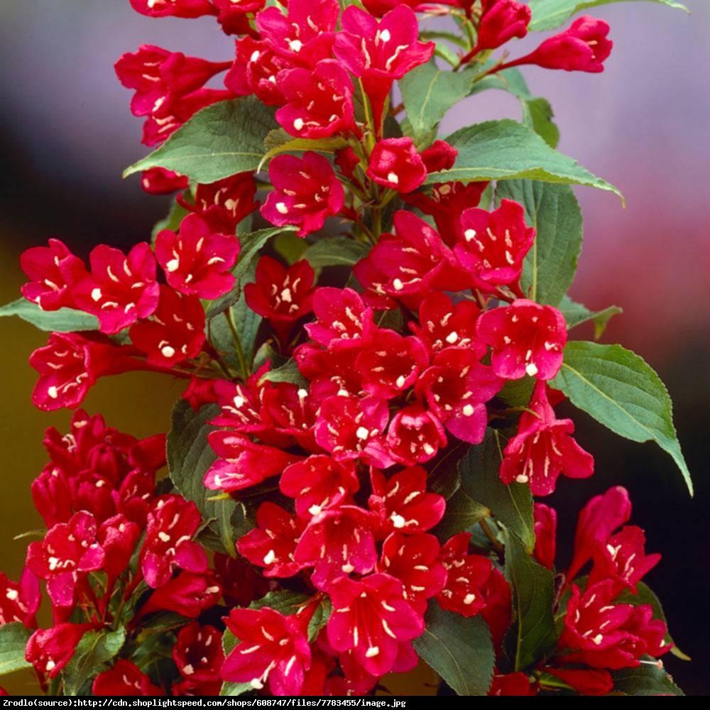 Krzewuszka cudowna Red Prince  - Weigela florida  Red Prince