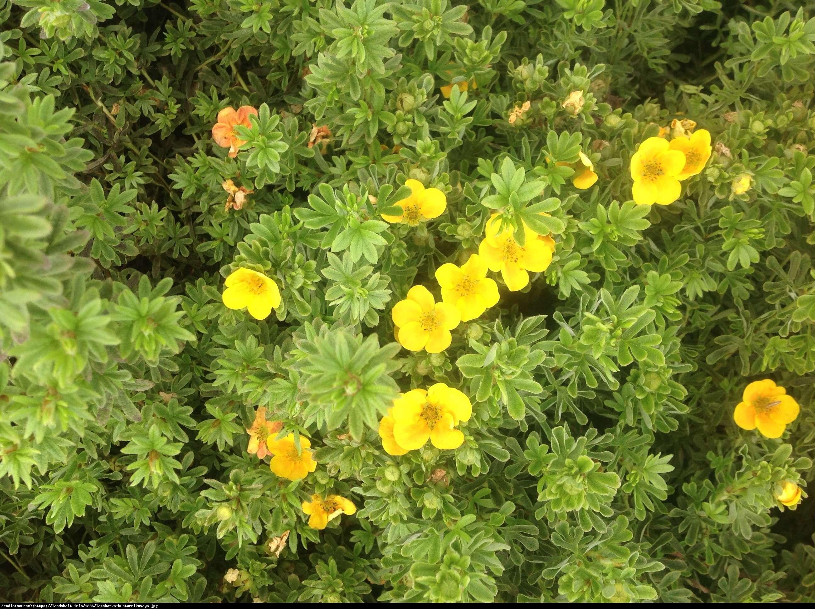 Pięciornik krzewiasty  Annette  - Potentilla fruticosa  Annette