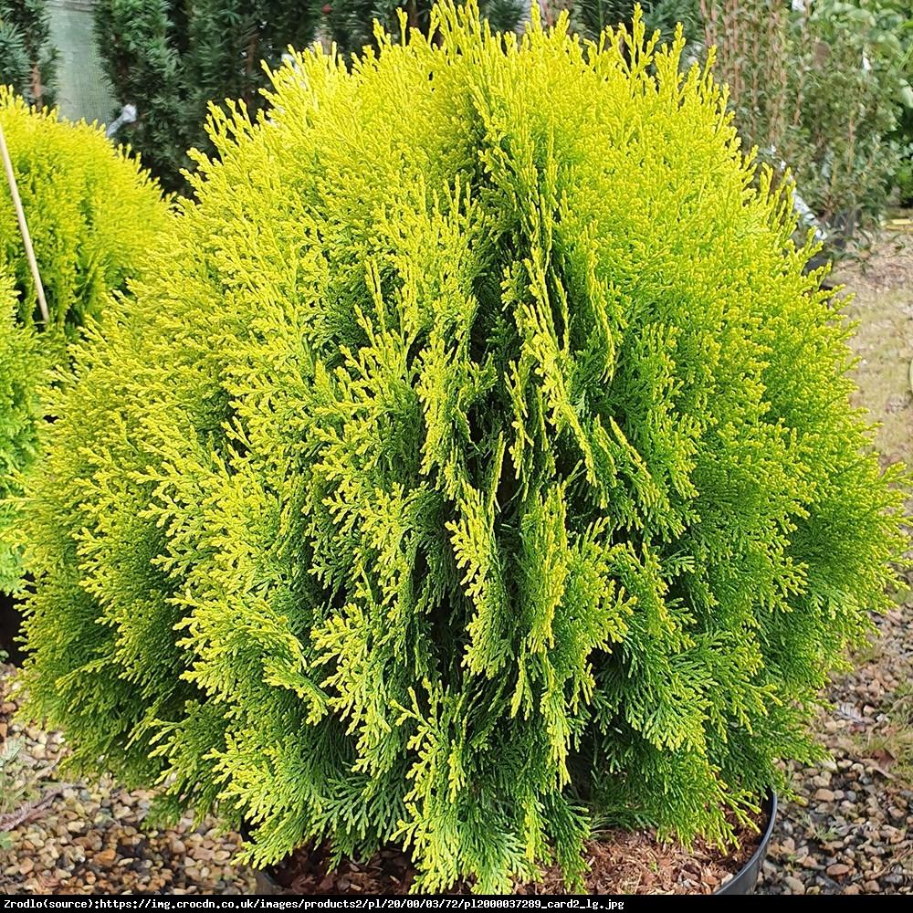 Tuja Żywotnik wschodni  Aurea Nana - Platycladus orientalis  Aurea Nana