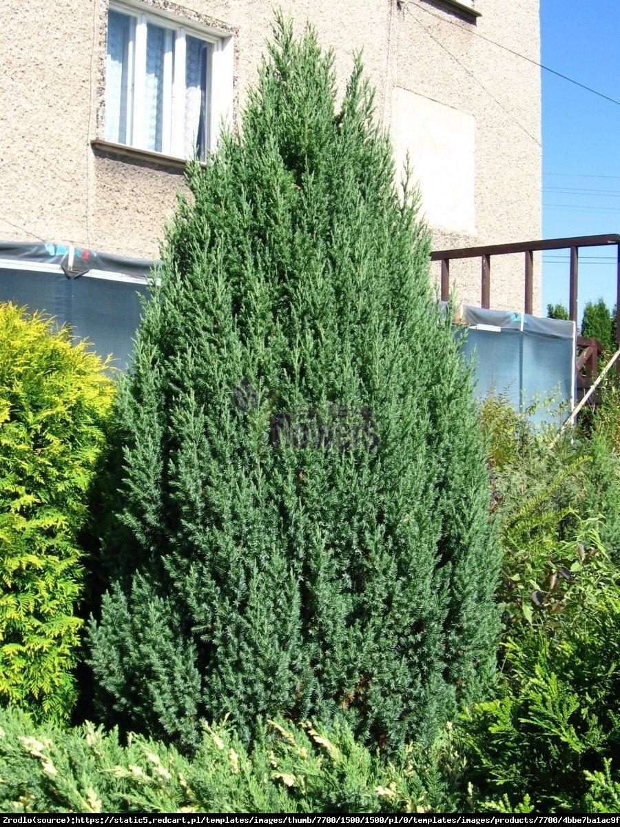 Jałowiec chiński  Stricta  - Juniperus chinensis  Stricta