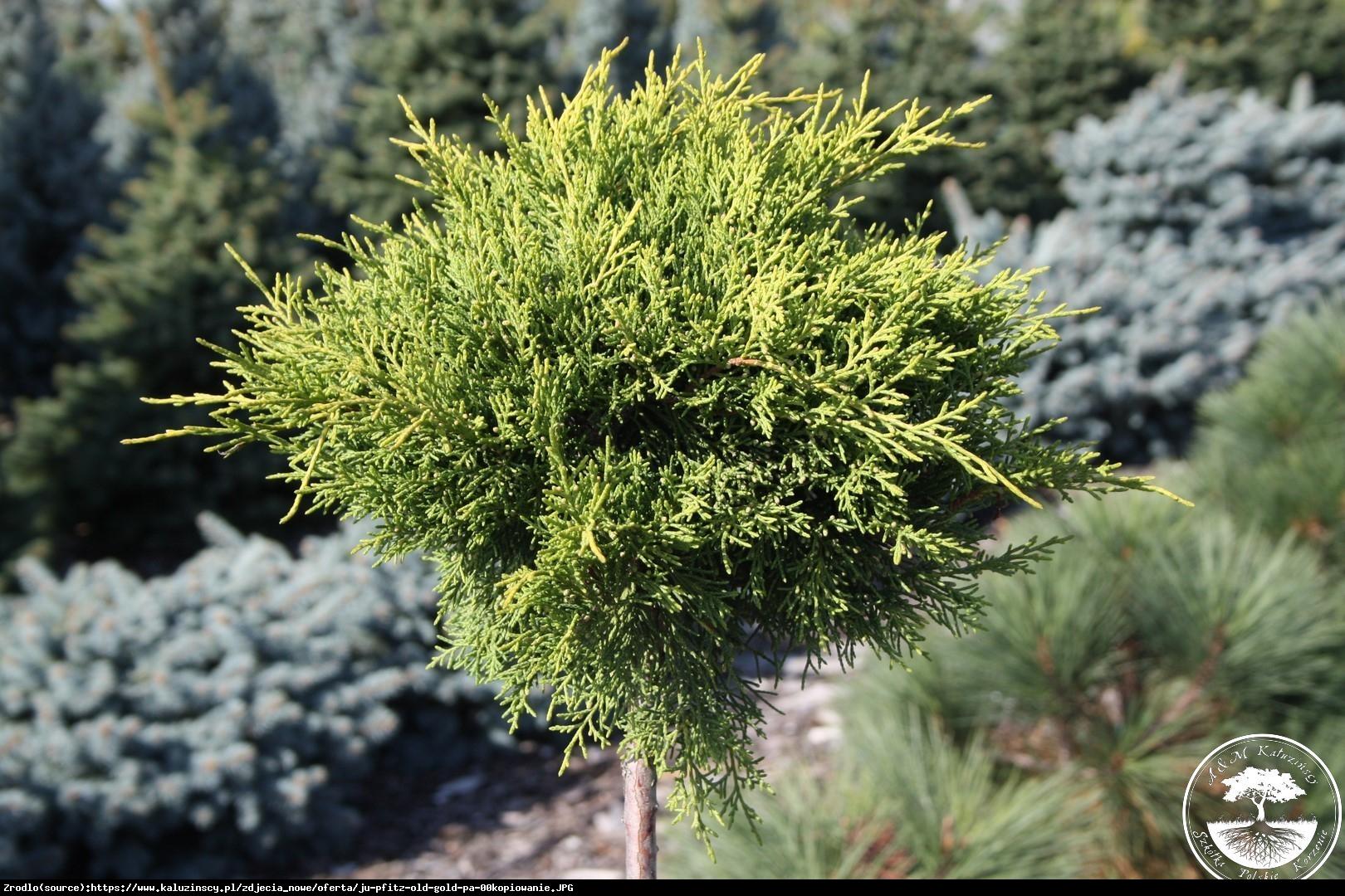 Jałowiec Pfitzera Old Gold  - Juniperus pfitzeriana  Old Gold