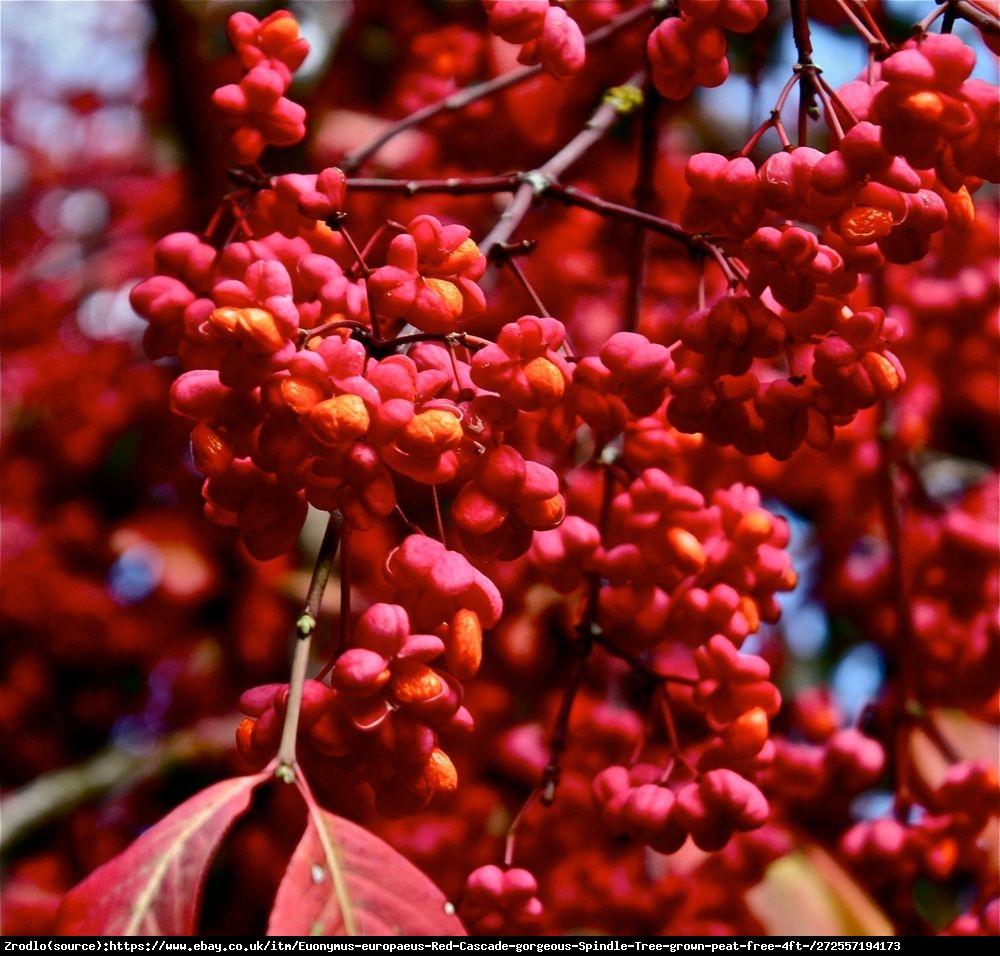 Trzmielina europejska Red Cascade - Euonymus europaeus  Red Cascade