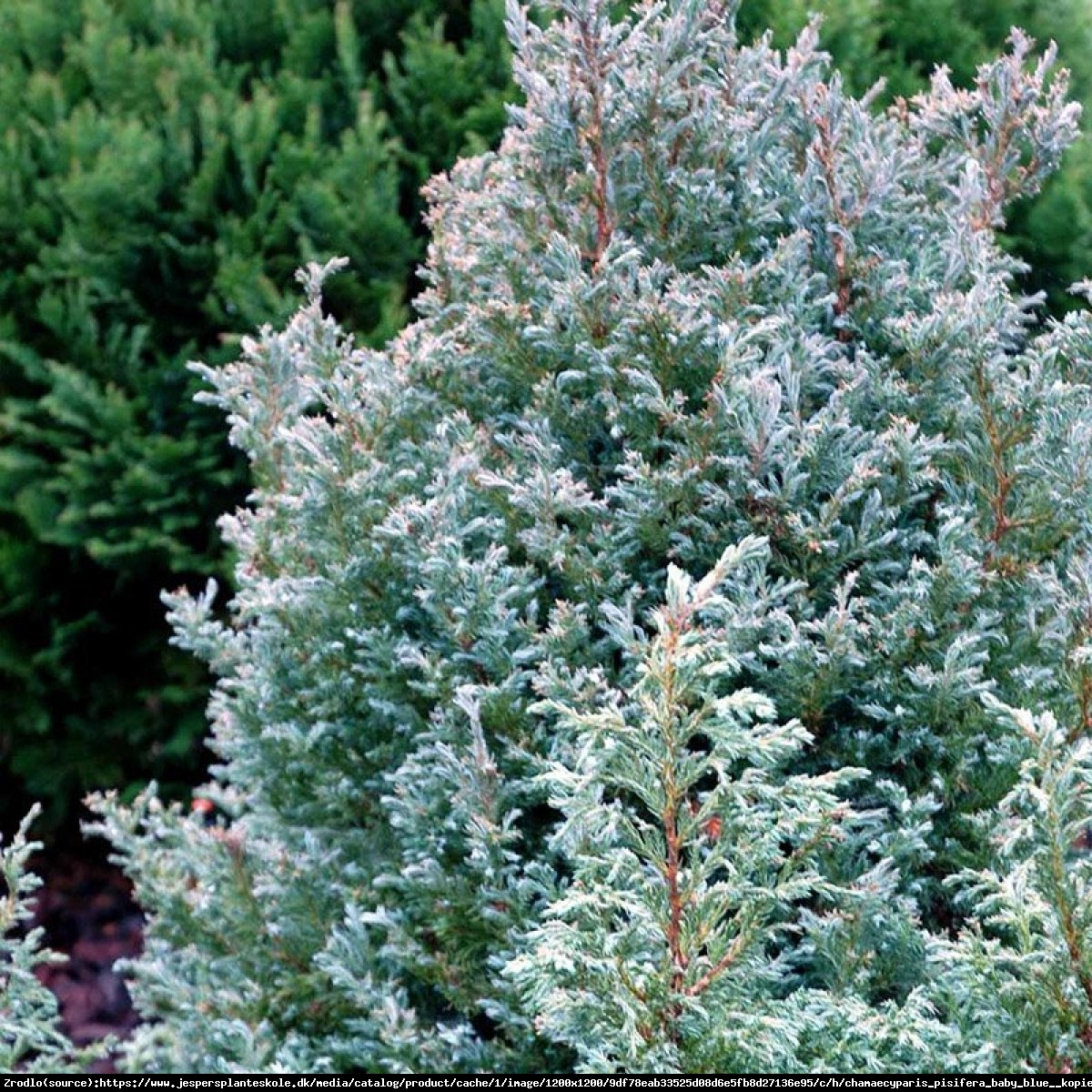 Cyprysik groszkowy  Baby Blue  - Chamaecyparis pisifera  Baby Blue