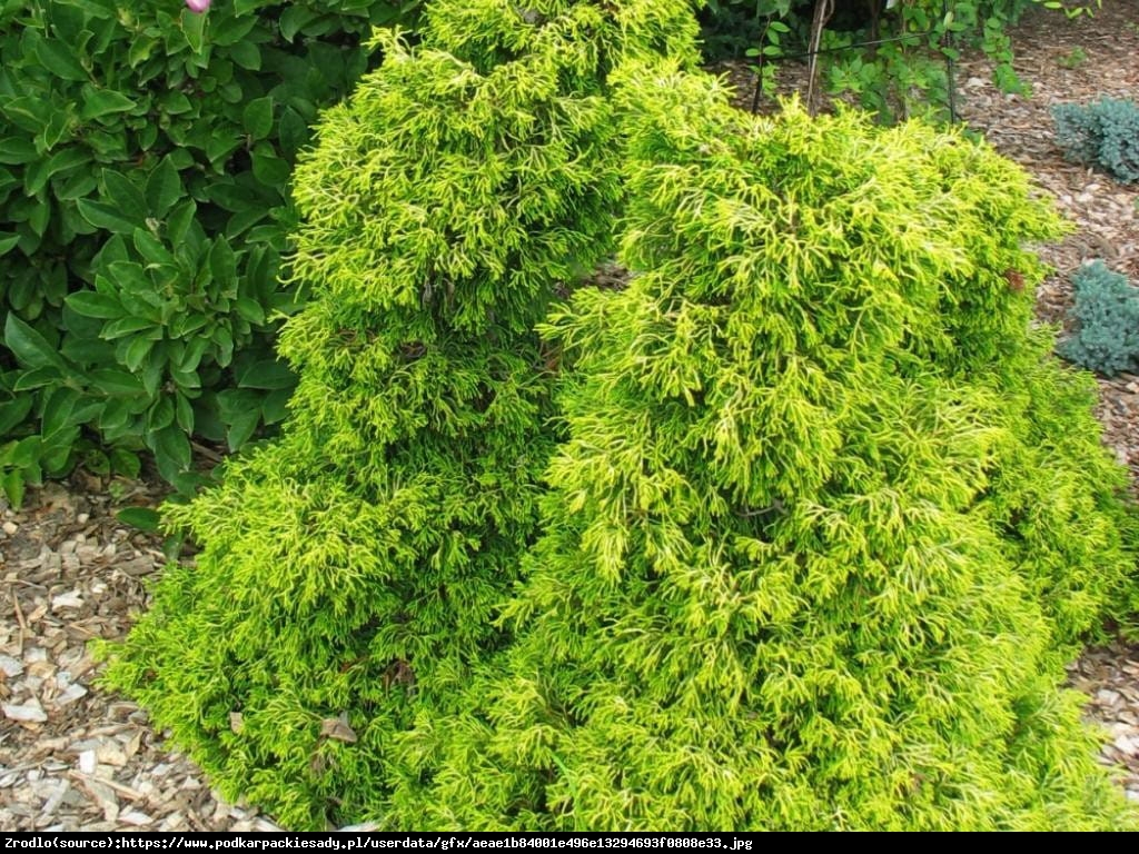 Cyprysik tępołuskowy Tsatsumi Gold  - Chamaecyparis obtusa  Tsatsumi Gold