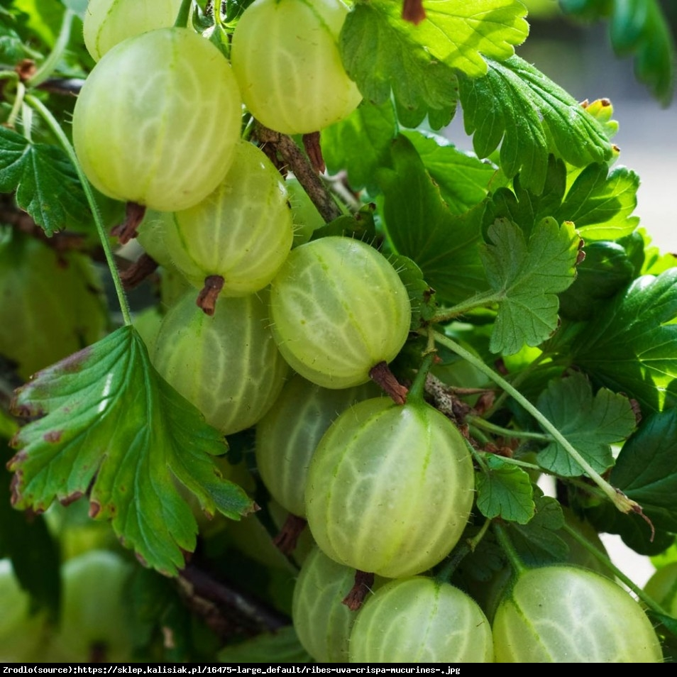 Agrest Mucurines - Ribes uva-crispa Mucurines