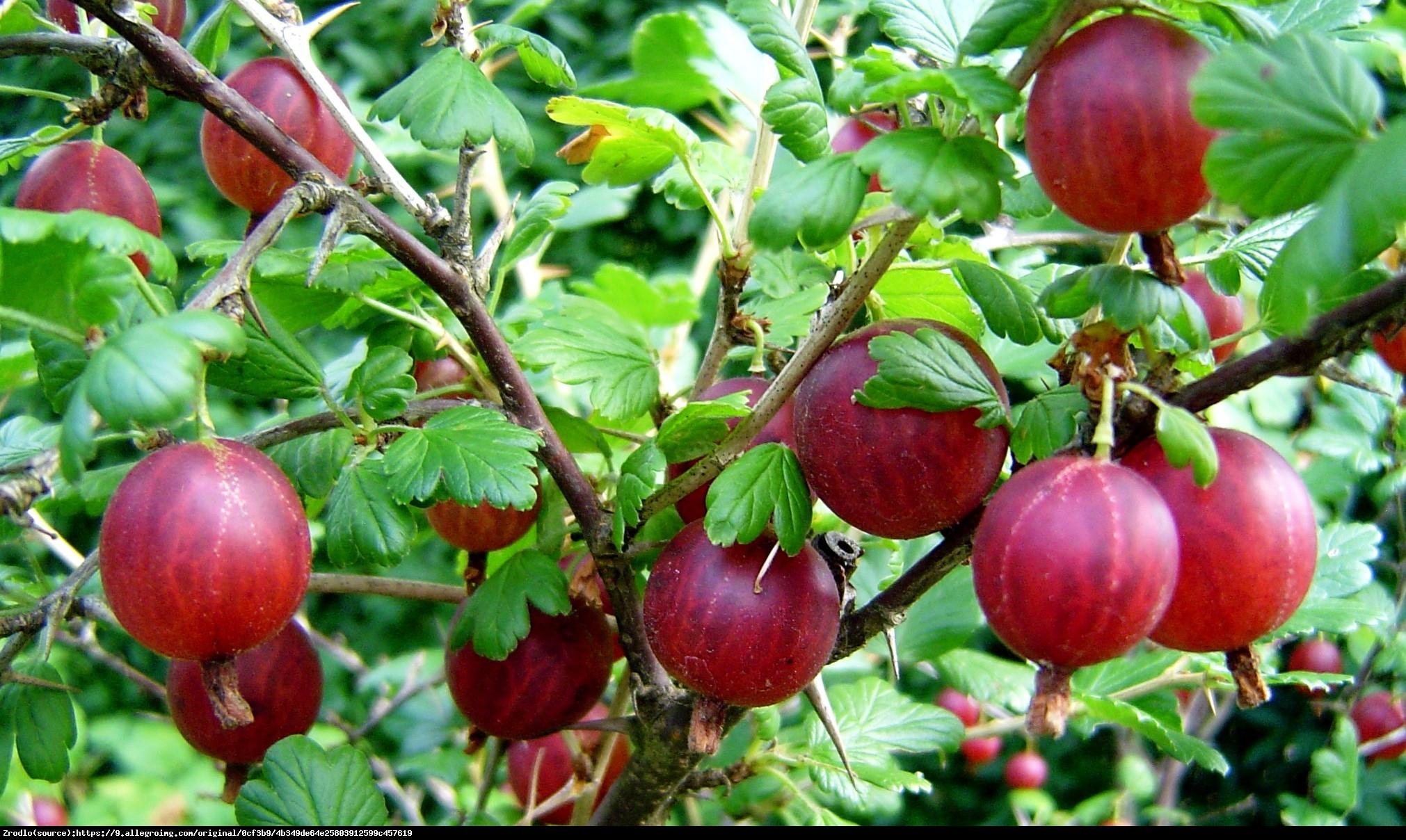 Agrest Kamieniar - Ribes uva-crispa Kamieniar