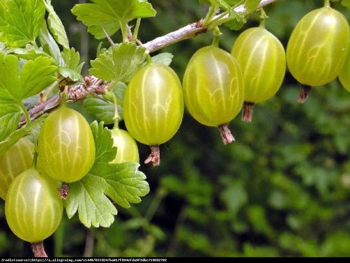 Agrest Hinnonmaki Gelb  - Ribes uva-crispa Hinnonmaki Gelb