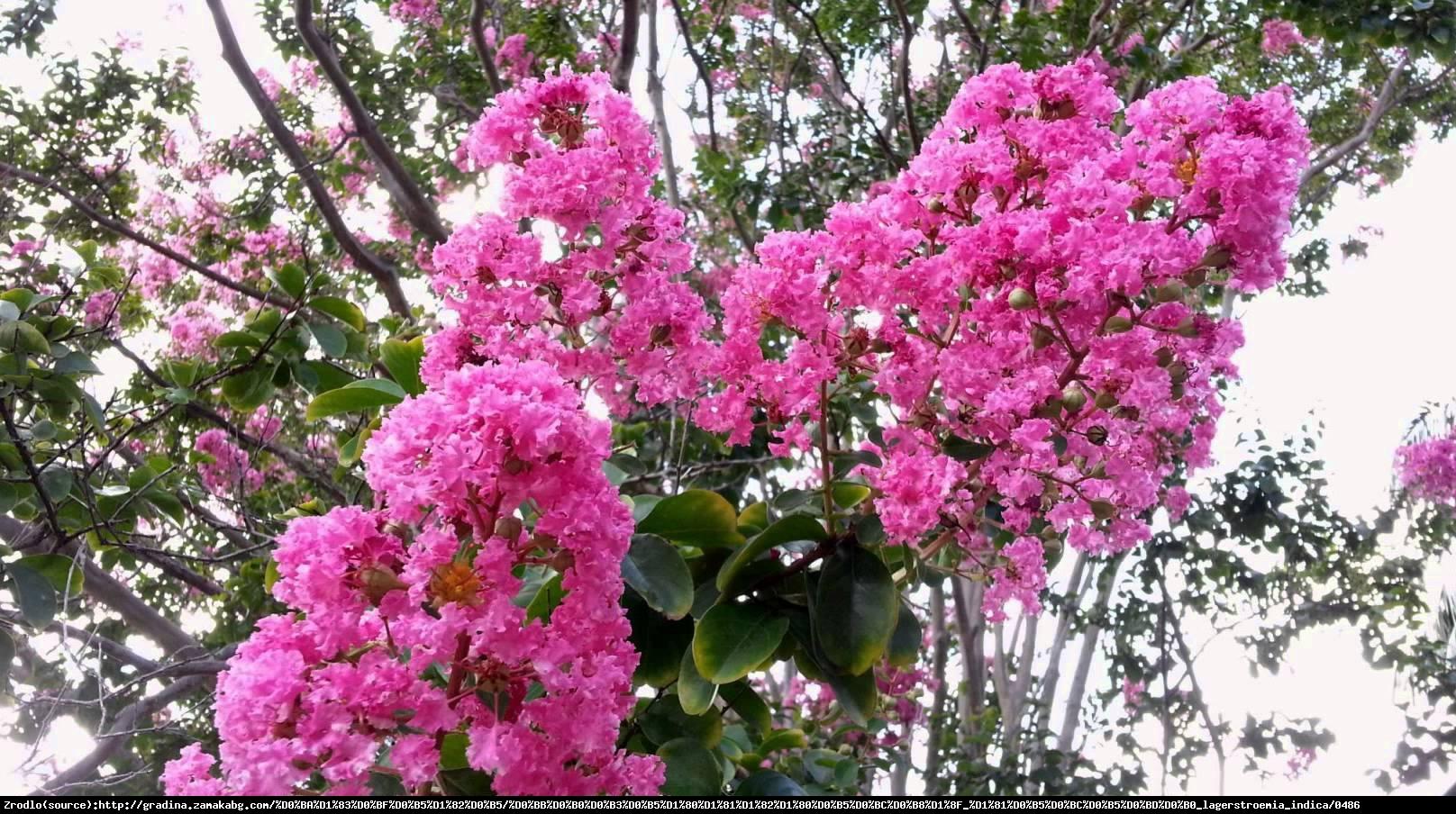 Lagerstremia indyjska 'Purpurea' - Bez Południa - Lagerstroemia indica 'Purpurea'