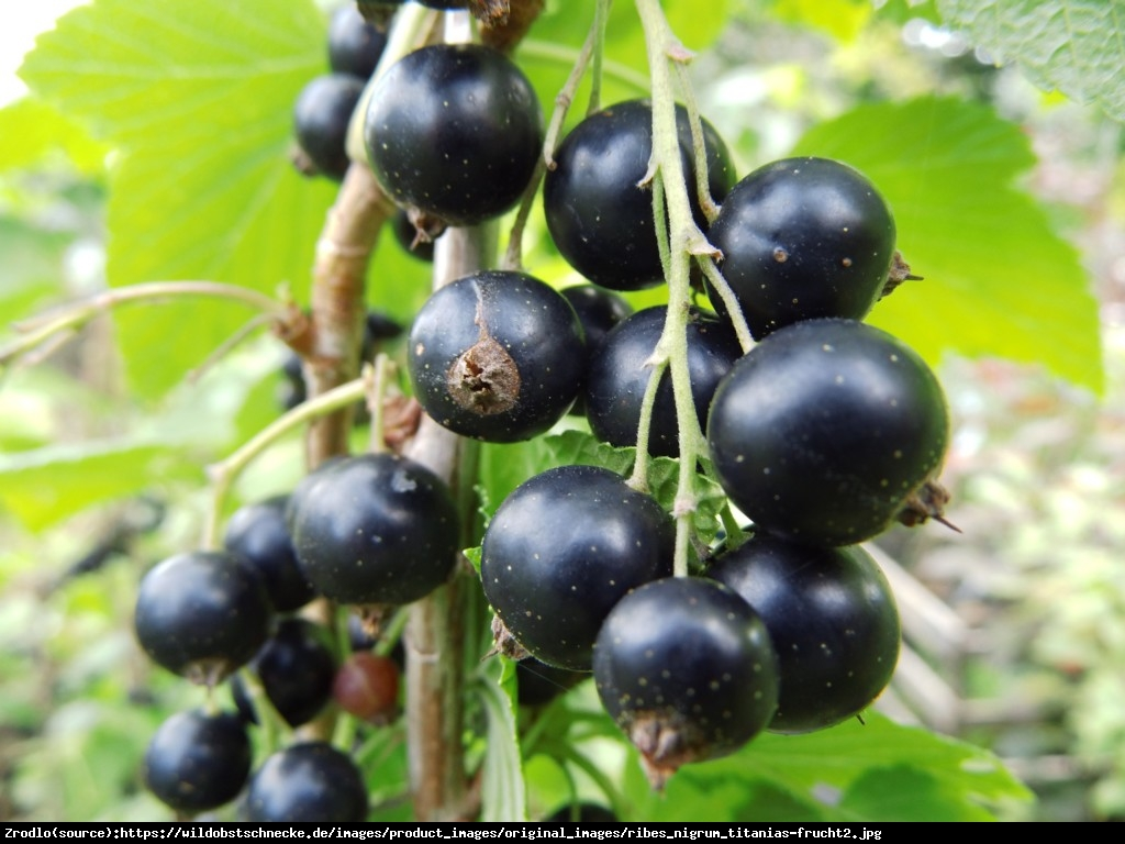Porzeczka czarna  Titania  pienna - Ribes nigrum  Titani  pienna