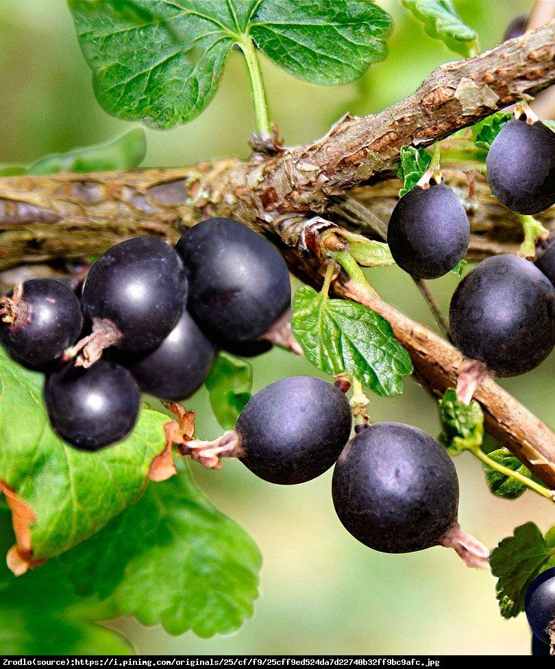 Porzeczkoagrest Josta pienny - Ribes nidigrolaria Josta pienny
