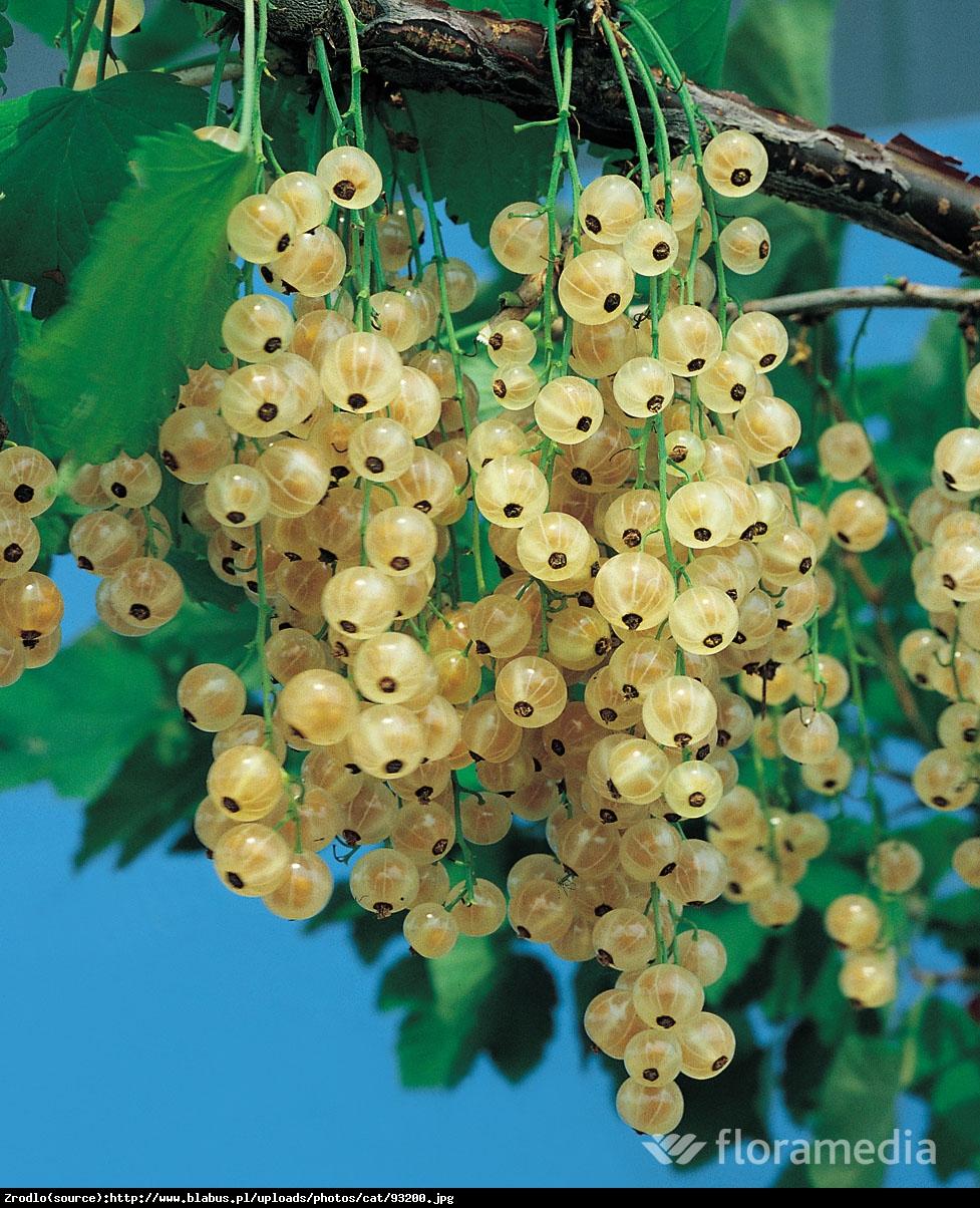 Porzeczka biała Weise Versailes pienna - Ribes niveum Weise Versailes pienna