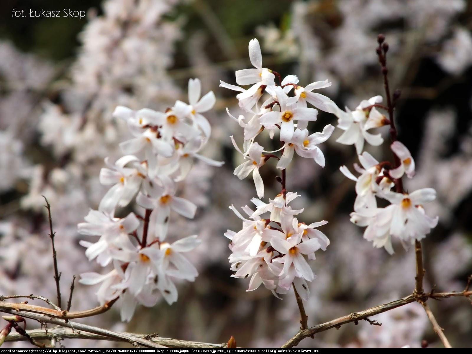 Abeliofylum koreańskie - Biała Forsycja - Abeliophyllum distichum