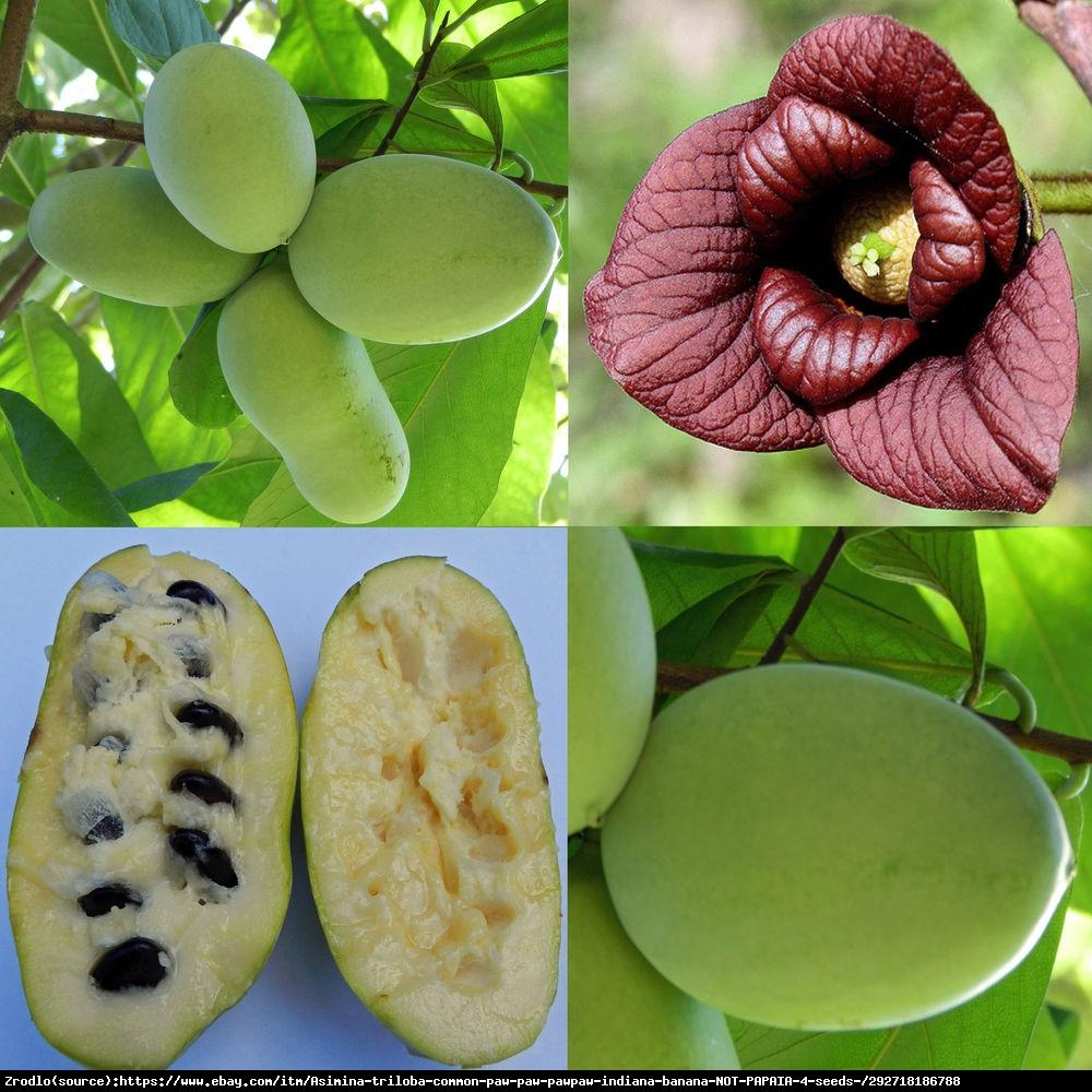 Urodlin trójłatkowy (tzw. Indiański banan) - Asimina triloba
