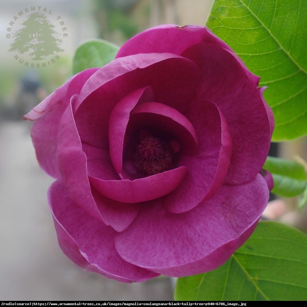 Magnolia Black Tulip - Soulangeana Black Tulip