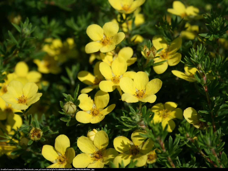 Pięciornik krzewiasty Kobold - Potentilla fruticosa Kobold