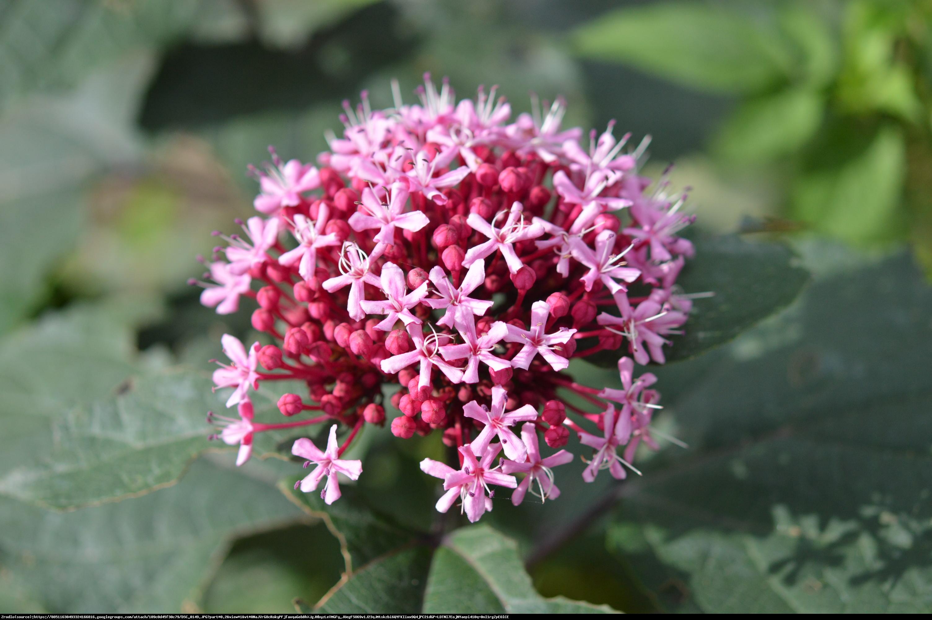 Szczęślin Bungego - Clerodendrum Bungei