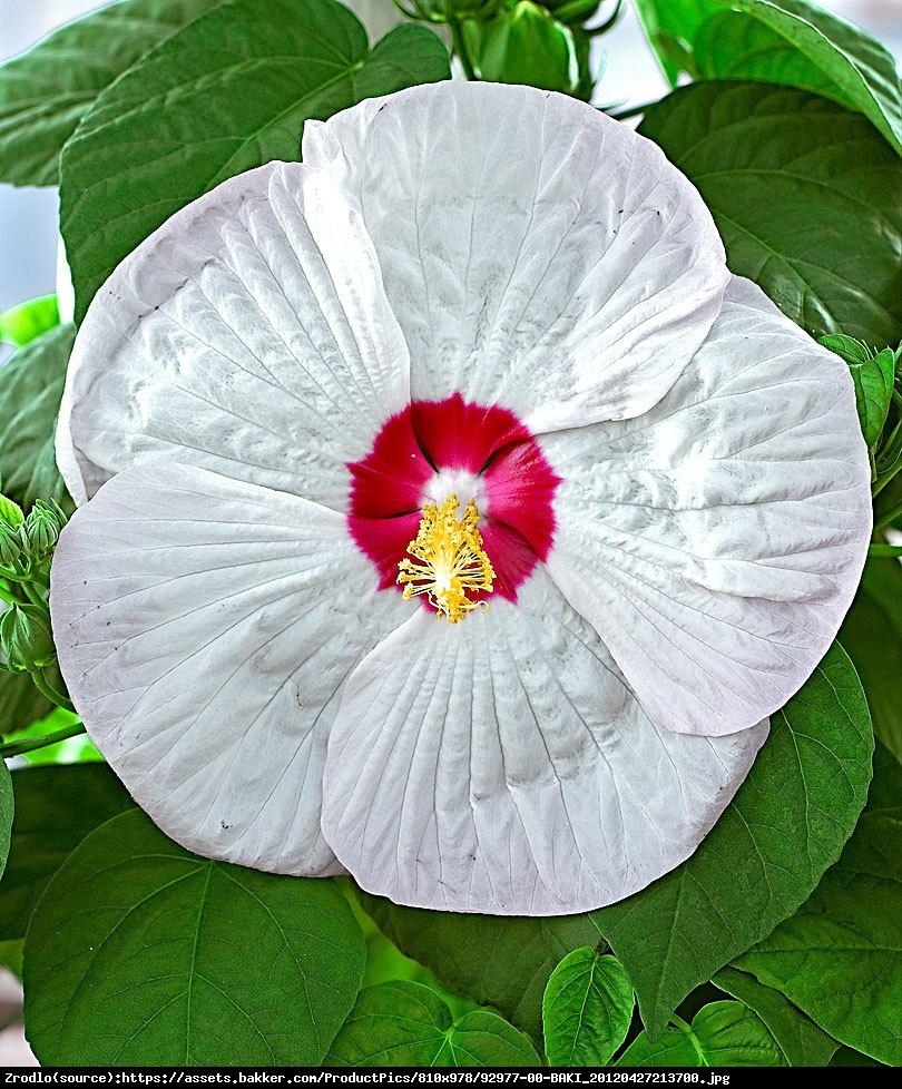 Hibiskus bagienny XXL Luna White - Hibiscus moscheutos XXL Luna White
