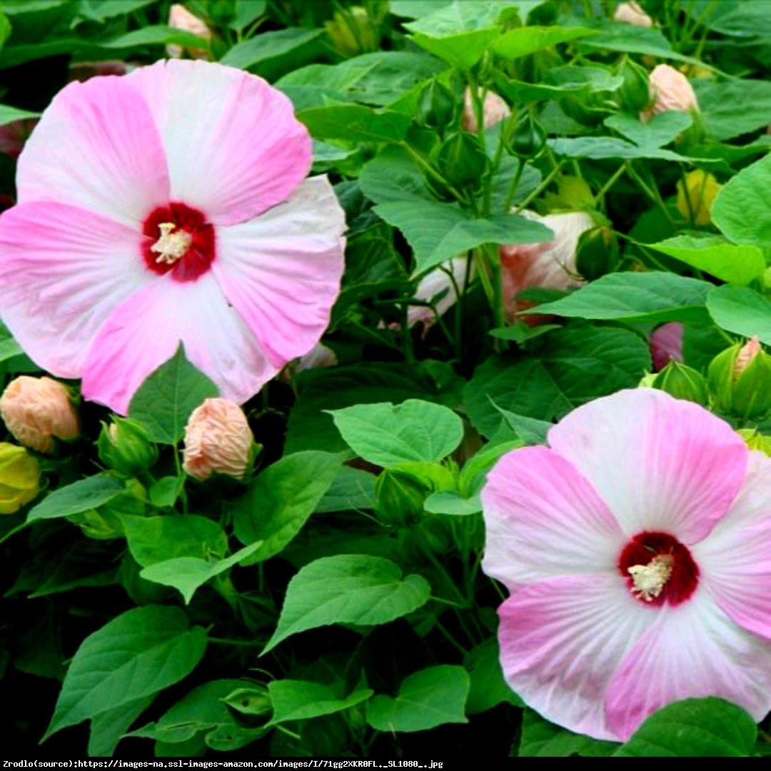 Hibiskus bagienny XXL Pink Swirl - Hibiscus moscheutos XXL Pink Swirl