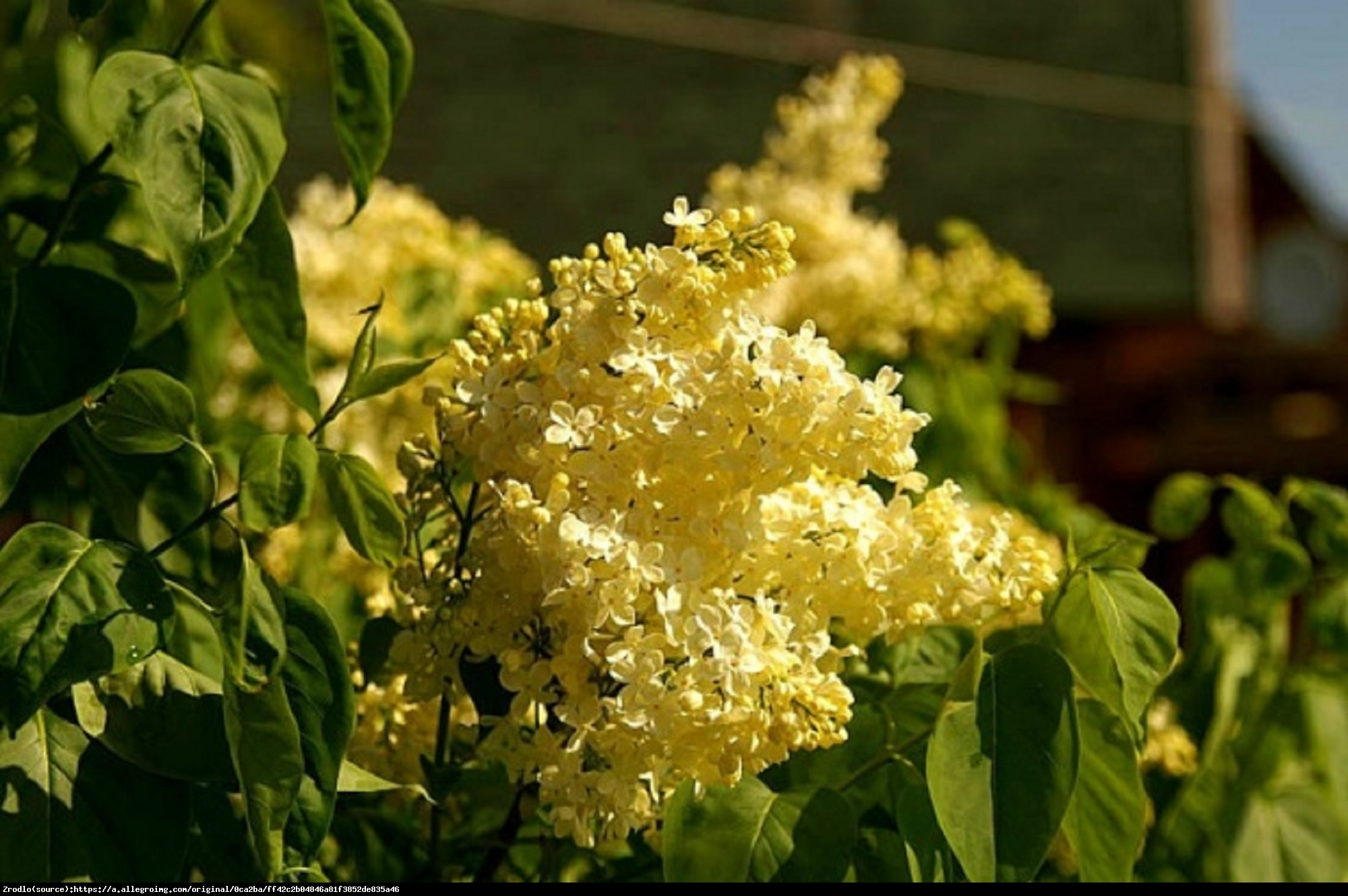 Lilak pospolity Primrose - Syringa vulgaris Primrose