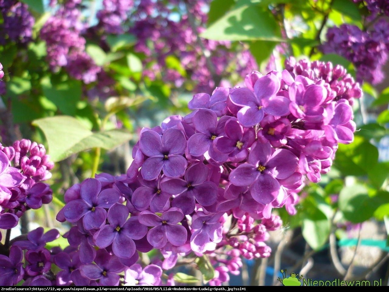 Lilak Pospolity LUDWIG SPAETH - Syringa vulgaris LUDWIG SPAETH