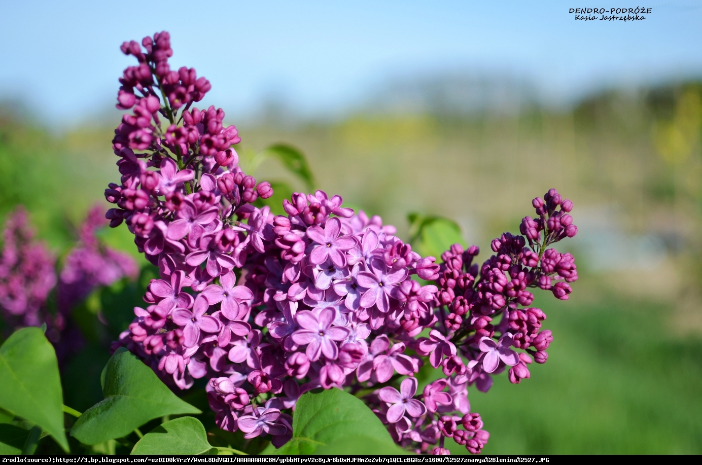 Lilak pospolity ludwig spaeth syringa vulgaris ludwig spaeth for Syringa vulgaris