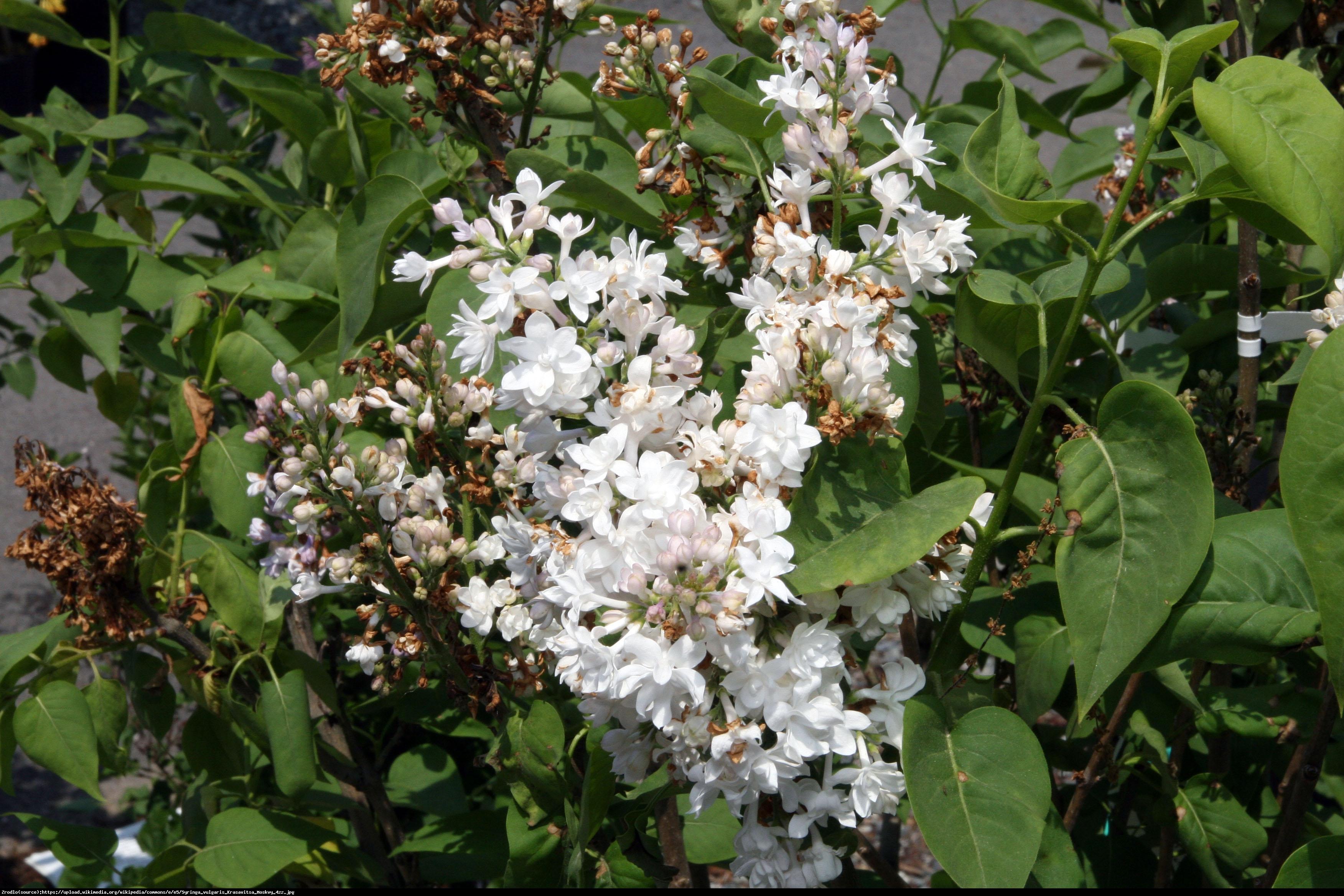 Lilak pospolity Krasavitsa Moskvy - Syringa vulgaris Krasavitsa Moskvy