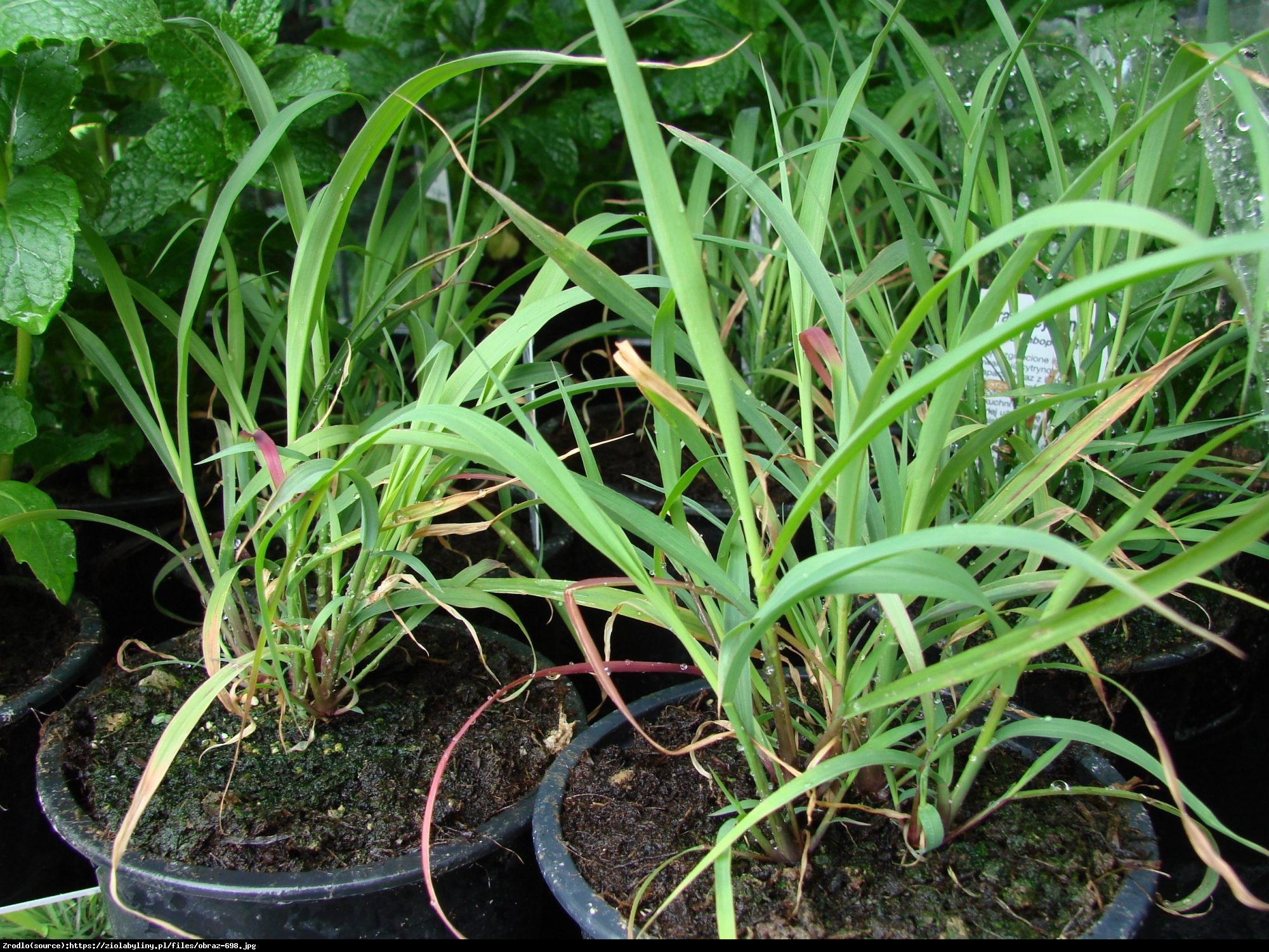 Trawa Cytrynowa - Cymbopogon citratus