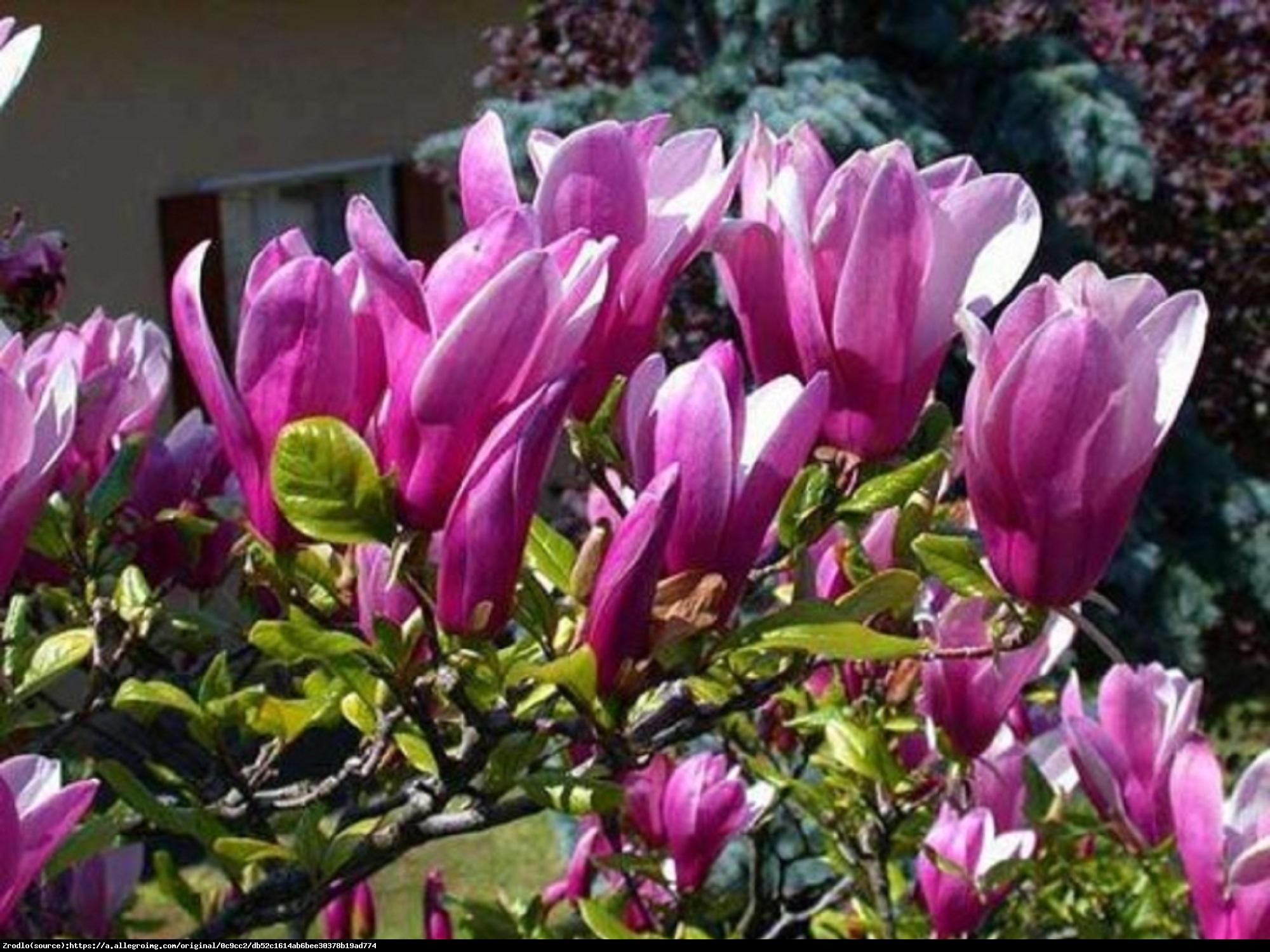 Magnolia Susan Duża - Magnolia Susan