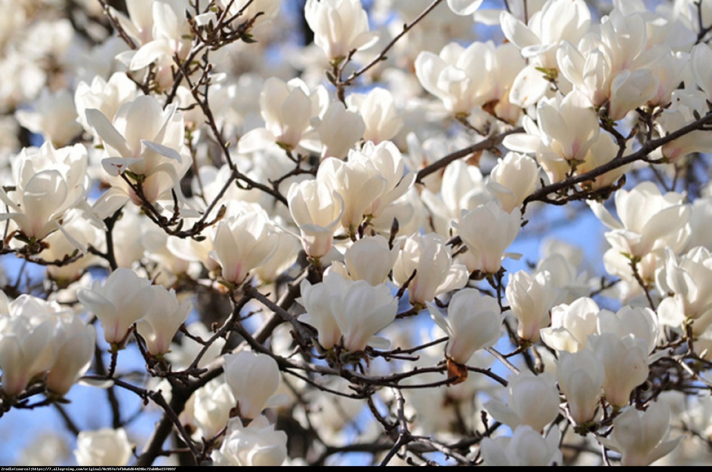 Magnolia Alba Superba Duża - Magnolia Alba Superba