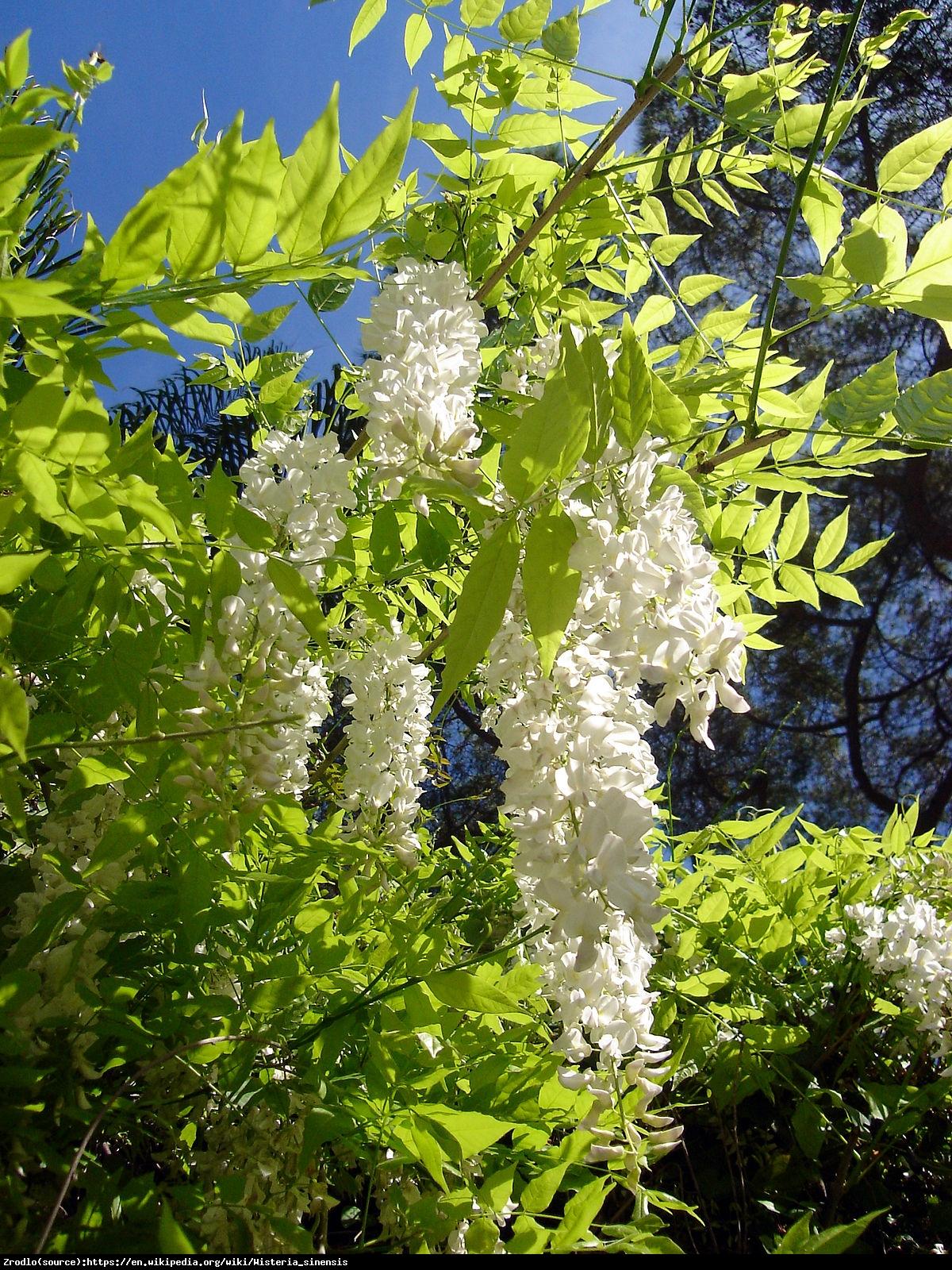 Glicynia chińska Biała - Wisteria sinensis